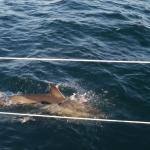 porpoise (Weymouth to Caiscais)