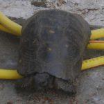 tortoise1 (Three tortoise walkabout)