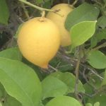 lemons (The lemon)