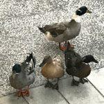 ducks (Getting it right)